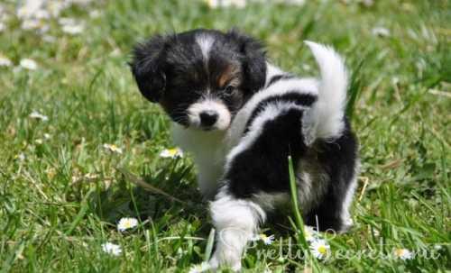 порода собаки из фильма бетховен, описание и характеристика породы собак сенбернар
